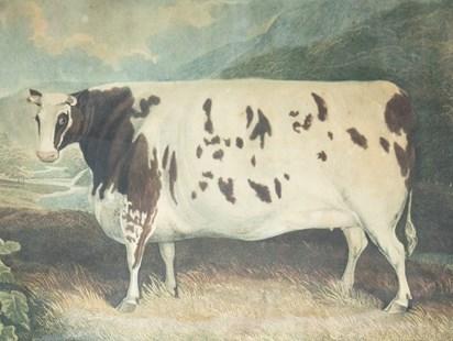 craven-heifer-web-800x600.jpg